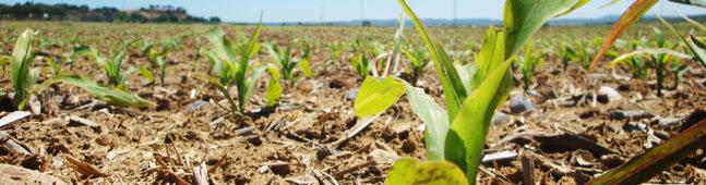 maiz transgenico aragon