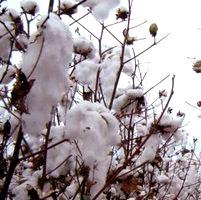 algodon transgenico seguridad alimentaria