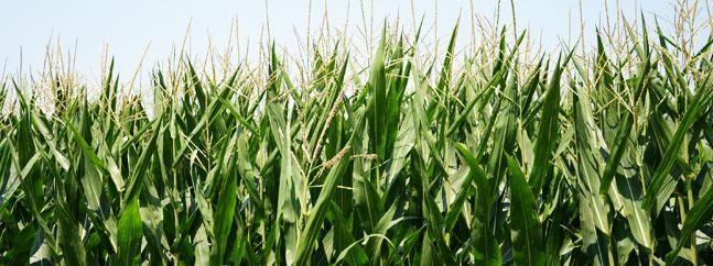 maiz transgenico monzon bt