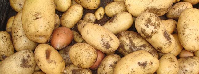 patata transgenica alimento biotecnologico