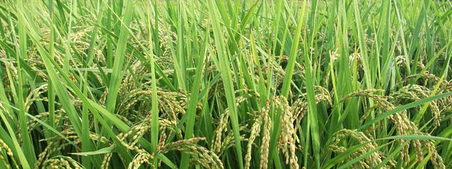 arroz dorado transgenico biotecnologico