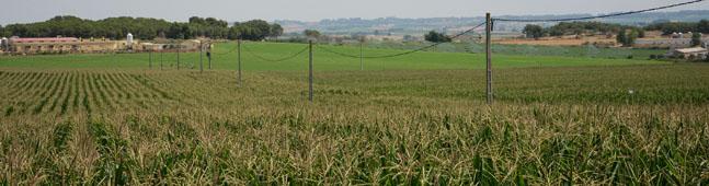 maiz transgenico biotecnologia verde agraria