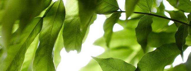 hojas plantas gen aceite