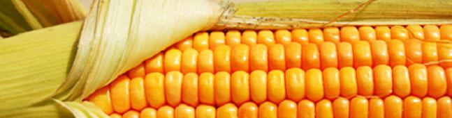 semana biotecnologia maiz transgenico