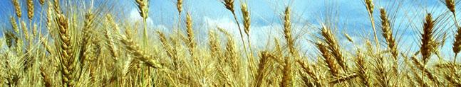 Trigo modificado geneticamente resistencia