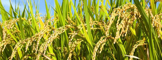 arroz modificado geneticamente transgenicos