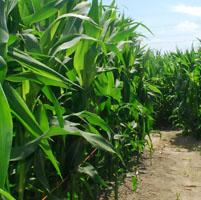 campo maiz estudio medio ambiente