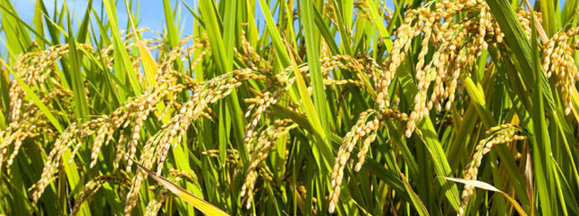 plantas arroz mejorado geneticamente irri