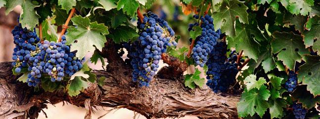 vid vino ultravioleta