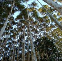 eucaliptos transgenicos brasil