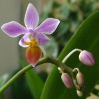 secuencia genoma orquídea