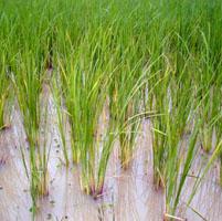 arroz cultivo transgenico
