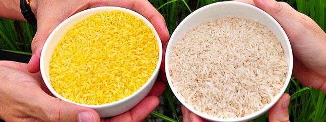 arroz dorado transgenico