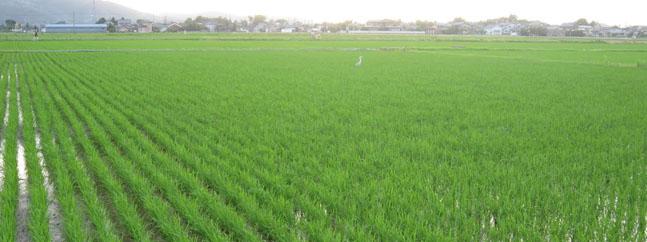 campo arroz transgenico