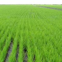 cultivo arroz transgenico