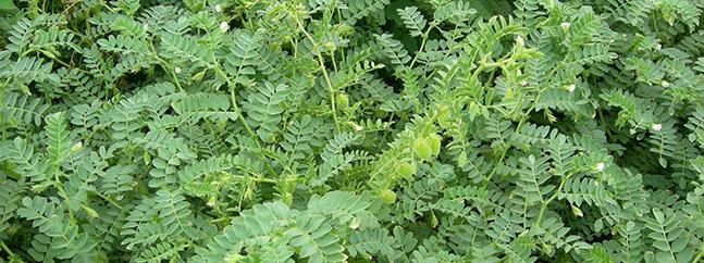 planta garbanzo cultivo