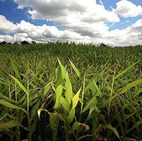 campo de maiz sequia azucar