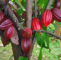 Planta cacao gen