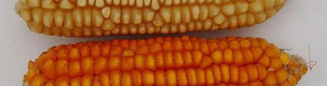 maiz multinutrient transgenico