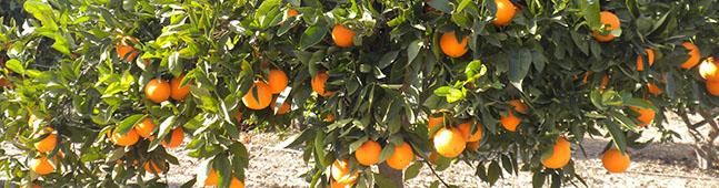 naranjo modificado geneticamente