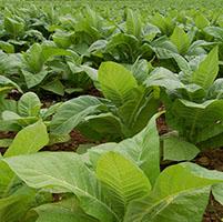 Tabaco planta gen