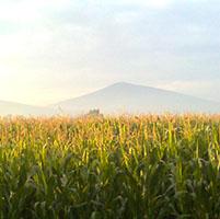 coexistencia maiz