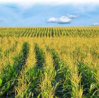 Cultivo maiz mazorcas