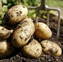 patatas agricultura
