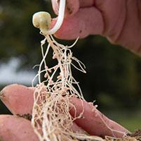 raices legumbres