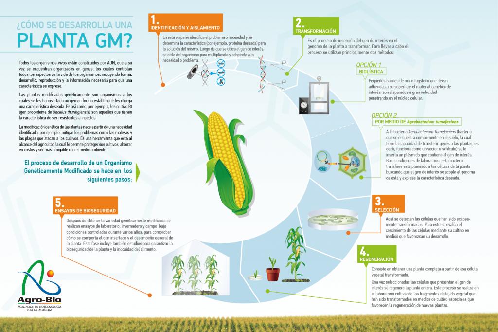 Desarrollo de un OMG AGROBIO