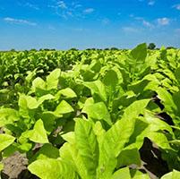 plantas de tabaco insectos