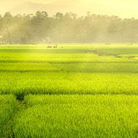 Cultivo arroz investigación