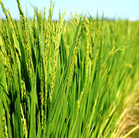 Cultivo arroz
