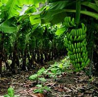 Planta banana platano