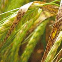 barley Ramularia