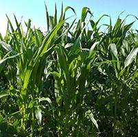 cultivo maiz tallo