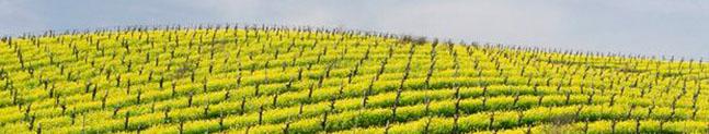 Cultivo mostaza campo