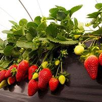 plantas fresas