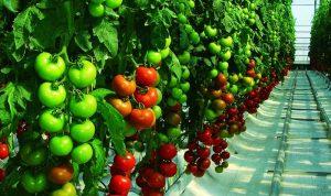 cultivo-tomate