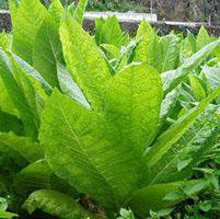 planta-de-tabaco-mejorada