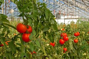 planta-de-tomate