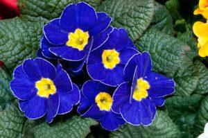 flores-de-primula-jardin